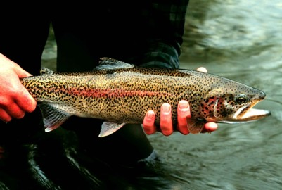 View of an adult Rainbow Trout